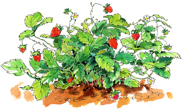 "Fragole di Bosco, from ""My Italian Garden"""